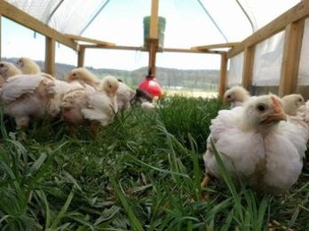 My Shepherd's Farm in Rural Retreat | Pastured Poultry and Eggs in